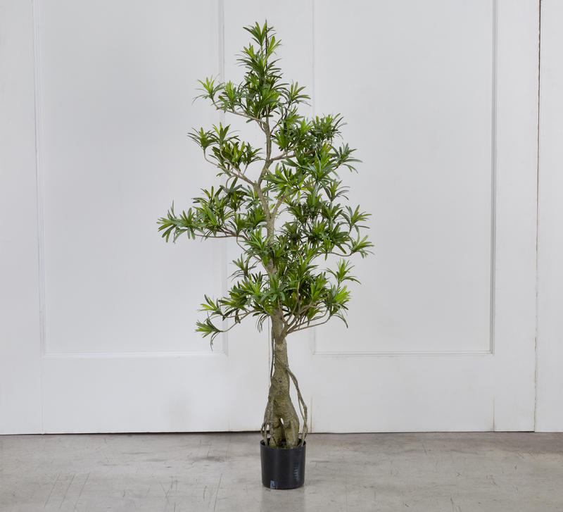 Potted Podocarpus Tree